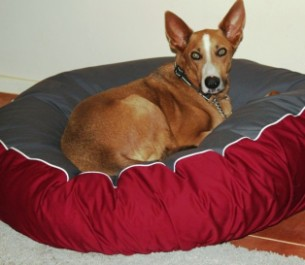 Kelpie on a Delux dog bed
