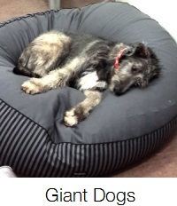 Wolfhound on his giant dog bed